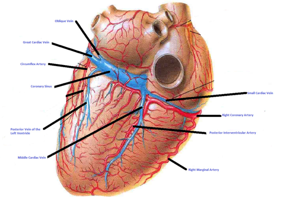 Coronary Arteries And Vein Isaiahs Anatomy Website