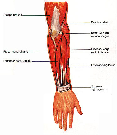 Muscles of the Forearm - Isaiah\'s Anatomy Website