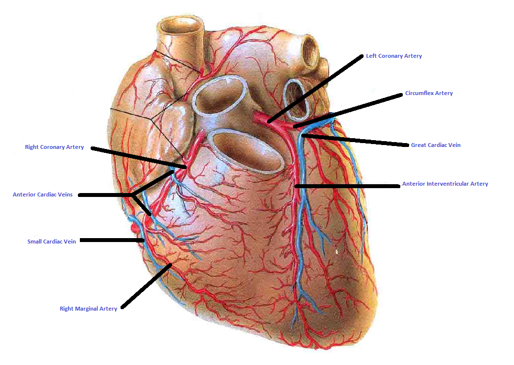 Coronary Arteries and Vein - Isaiah\'s Anatomy Website