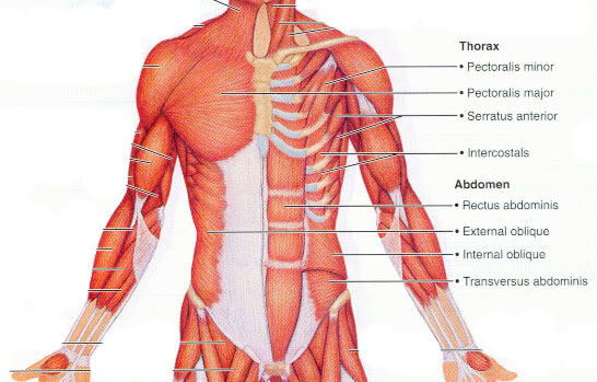Muscles of The Anterior Thorax and Abdomen - Isaiah\'s Anatomy Website
