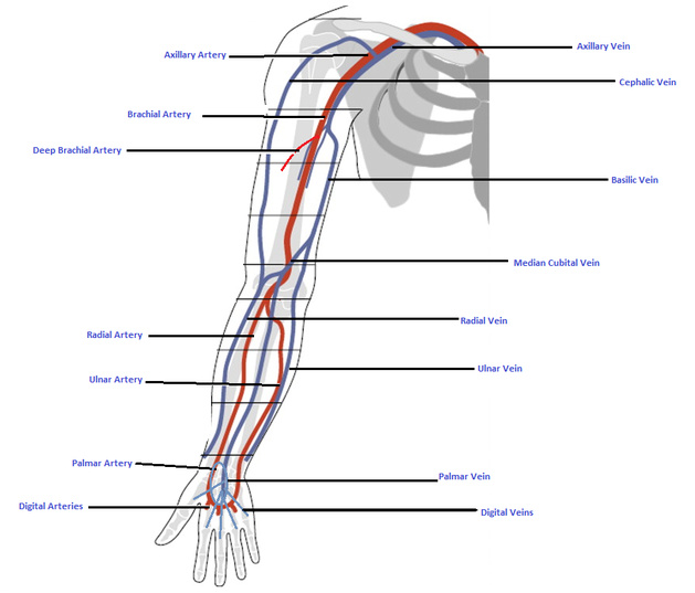 The Principle Arteries And Veins Of The Body Isaiahs Anatomy Website
