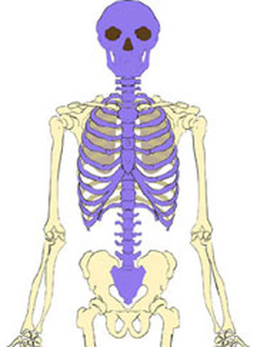 Axial skeleton - Isaiah\'s Anatomy Website